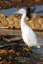 White cattle egret Royalty Free Stock Photo
