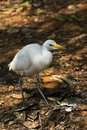 White cattle egret bird on the ground Royalty Free Stock Images