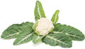 White cauliflower brassica oleracea l var botrytis l single whole with leaves on background Royalty Free Stock Photography