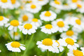 White Chamomile marguerite daisy flowers Royalty Free Stock Image