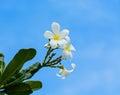 White Champaka Thai Flowers
