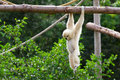 White cheeked gibbon Stock Image