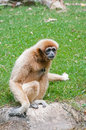 White cheeked gibbon or lar Stock Images
