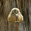 White cheeked gibbon at the zoo sitting on wooden trunk Royalty Free Stock Photo