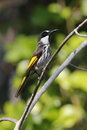 White cheeked honeyeater phylidonyris niger australian perched on a branch Royalty Free Stock Photo