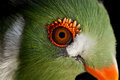 White cheeked turaco a close up of a Stock Images