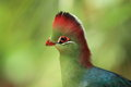 White-cheeked turaco detail Royalty Free Stock Image
