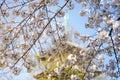 WHite Cheery blossum & x28;Sakura blossum& x29; with soft focus of japanese pagoda background, Ueno park Royalty Free Stock Photo