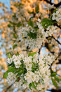 White cherry blossom flowers Stock Images