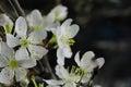 White cherry blossom macro Royalty Free Stock Photo