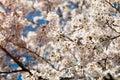 White Cherry blossom in Spring Season of Japan; Sakura blooming