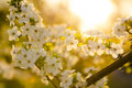 White cherry blossom tree blossoming twig of in the early sunny morning over abstract blurred background Stock Photography