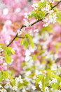 White cherry blossom tree branches of blooming and pink trees in the springtime Royalty Free Stock Image