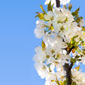 White cherry blossoms on a blue sky in the park Royalty Free Stock Photo