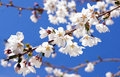 White cherry blossoms with a bright blue sky background Stock Photo