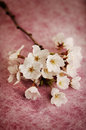 White cherry blossoms close up pink background selective focus Stock Images