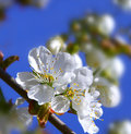 White cherry blossoms in the spring garden Stock Image