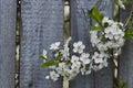 White cherry blossoms, sunshine, Macro Royalty Free Stock Photo
