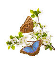 White cherry branches with morpho butterflies Royalty Free Stock Image