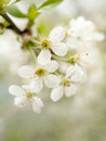 White cherry flower with narrow depth of field Royalty Free Stock Photos