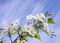 White Cherry Flowers Stock Photography
