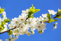 White cherry flowers on spring time Stock Photo