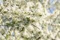 White Cherry Plum Tree Flowers Royalty Free Stock Photo