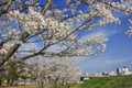 White cherry tree blossom in Japan Royalty Free Stock Photo