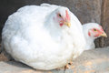 White Chicken Royalty Free Stock Image