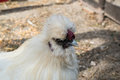 White chicken closeup at farm Royalty Free Stock Photo