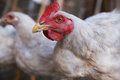White chicken. Focus on the eye of a chicken. Royalty Free Stock Photo