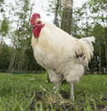 White chicken hen on a dutch biological farm outside Royalty Free Stock Images