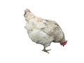 White chicken hen isolated over white Royalty Free Stock Photo