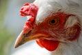 White chicken portrait Royalty Free Stock Photo
