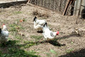 White chicken walking on the chicken coop in the spring. Agriculture. Ornithology. Poultry yard. Royalty Free Stock Photo