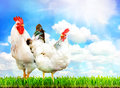 White chicken and white rooster standing on a green grass.