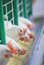 White chickens are fed from the trough on poultry farm Stock Photos
