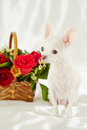 White chihuahua sits on white bedding near wicker basket with bunch of flowers Stock Photo