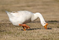White Chinese Goose Royalty Free Stock Image