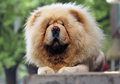 White chow chow dog lying on the street Stock Photos