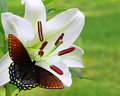 White Christmas Lily with a Spicebush Swallowtail Butterfly Royalty Free Stock Images