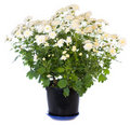 White chrysanthemum in flowerpot Stock Images