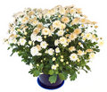 White chrysanthemum in flowerpot Stock Photos