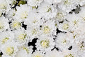 White chrysanthemum flowers in garden a photo of Stock Photo