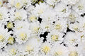 White chrysanthemum flowers in garden a photo of Stock Images