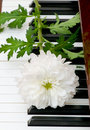 White Chrysanthemum (mums) Royalty Free Stock Photos