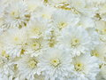 White chrysanthemums small fresh flowers Royalty Free Stock Photography