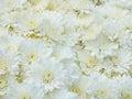 White chrysanthemums small fresh flowers Royalty Free Stock Image