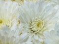 White chrysanthemums small fresh flowers Royalty Free Stock Photo