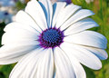 White cineraria flower closeup shot of Royalty Free Stock Photos